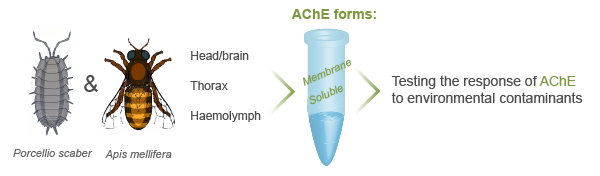 AChE-acetylcholinesterase-biomarker-graphical-abstract